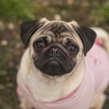 Girl Pug