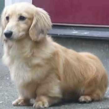 Golden Corgi Mix Puppies For Sale