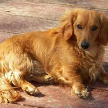 Golden Dachshund Puppies For Sale