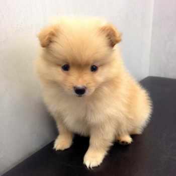 Golden Pomeranian Puppies For Sale