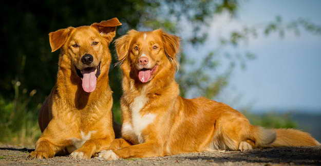 Golden Retriever And German Shepherd Mix