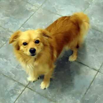 Golden Retriever Chihuahua Mix For Sale