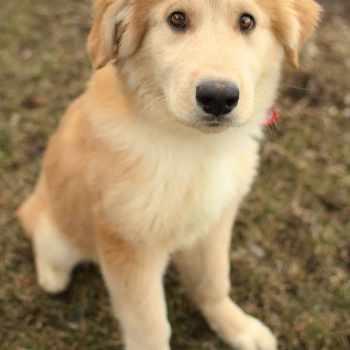 Golden Retriever Husky Mix Adoption