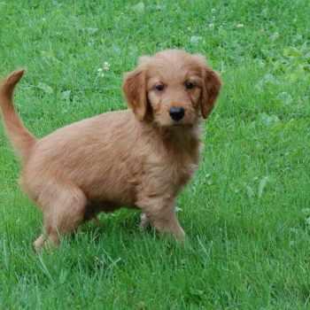 Golden Retriever Poodle Mix Puppies