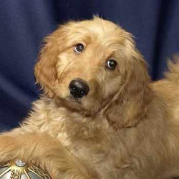 Golden Retriever Poodle Mix Rescue