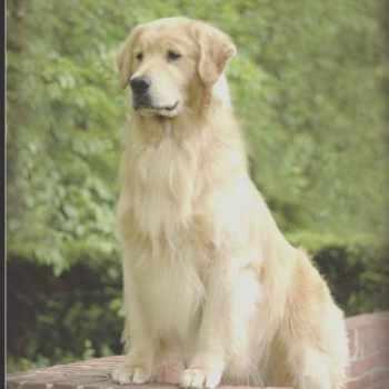 Golden Retriever Puppies Adoption Wisconsin