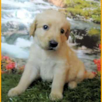 Golden Retriever Puppies Atlanta Ga