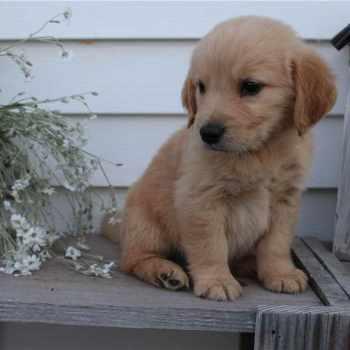 Golden Retriever Puppies Canton Ohio