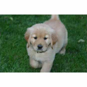Golden Retriever Puppies For Sale Albany Ny