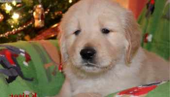 Golden Retriever Puppies For Sale In Ohio Under $200 | Pets