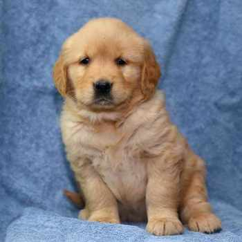 Golden Retriever Puppies For Sale In Arkansas