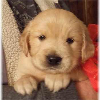 Golden Retriever Puppies For Sale In Ga