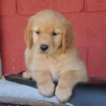 Golden Retriever Puppies For Sale In Ky