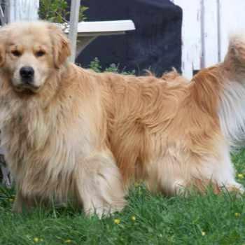 Golden Retriever Puppies For Sale In Montana