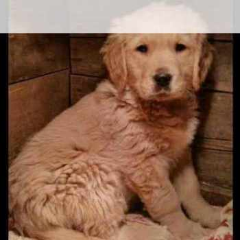 Golden Retriever Puppies For Sale In Nd