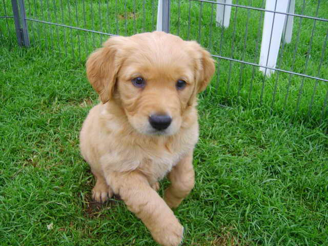 Golden Retriever Puppies For Sale In Nh