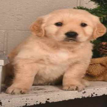Golden Retriever Puppies For Sale In Ohio Under $200