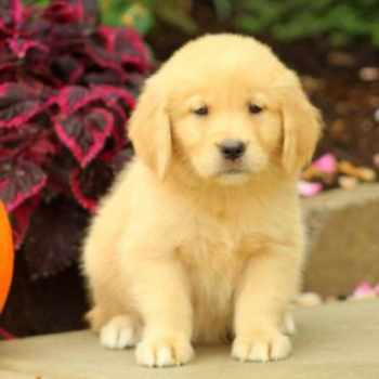 Golden Retriever Puppies For Sale In Pennsylvania