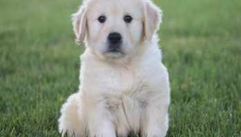 Golden Retriever Puppies For Sale Pittsburgh | Pets and Dogs
