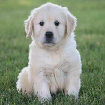 Golden Retriever Puppies For Sale In Pittsburgh