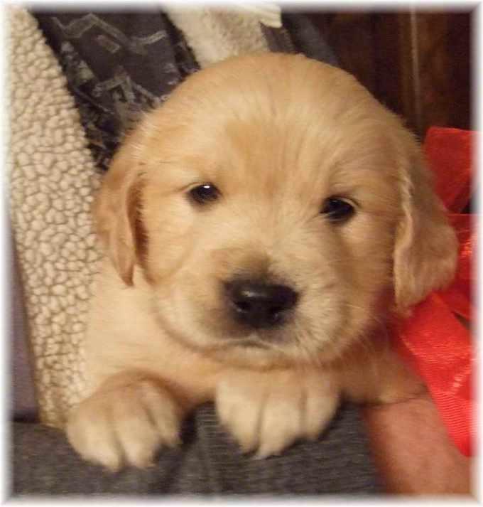 Golden Retriever Puppies For Sale In Savannah Ga