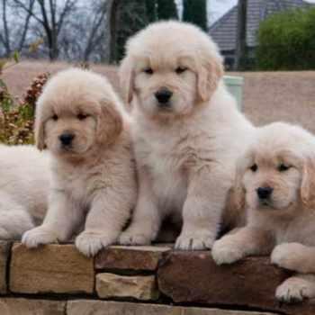 Golden Retriever Puppies For Sale In Texas
