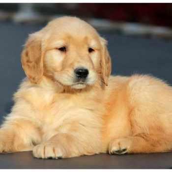 Golden Retriever Puppies For Sale In Vermont