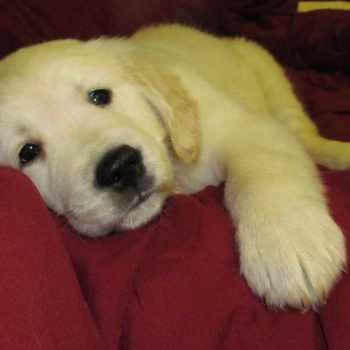 Golden Retriever Puppies For Sale In Wv