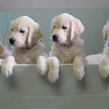 Golden Retriever Puppies For Sale Massachusetts