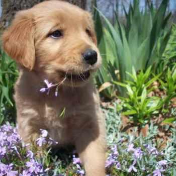 Golden Retriever Puppies For Sale Missouri