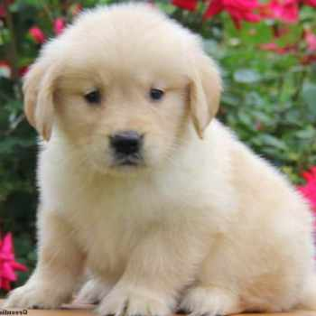 Golden Retriever Puppies For Sale Pa