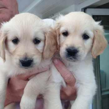 Golden Retriever Puppies For Sale San Diego