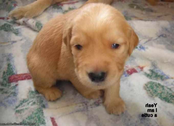 Golden Retriever Puppies For Sale Under 500 Dollars