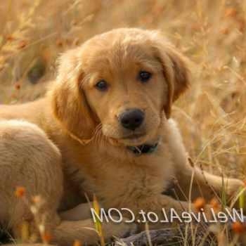 Golden Retriever Puppies Idaho