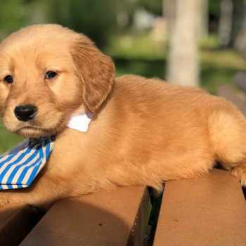 Golden Retriever Puppies Lakeland Fl