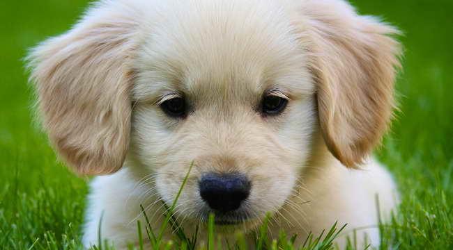 Golden Retriever Puppies Mass