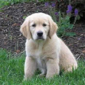 Golden Retriever Puppies Md