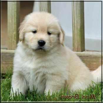 Golden Retriever Puppies Memphis