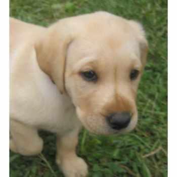 Golden Retriever Puppies Mobile Al