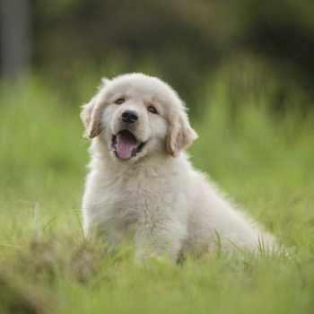 Golden Retriever Puppies Near Me
