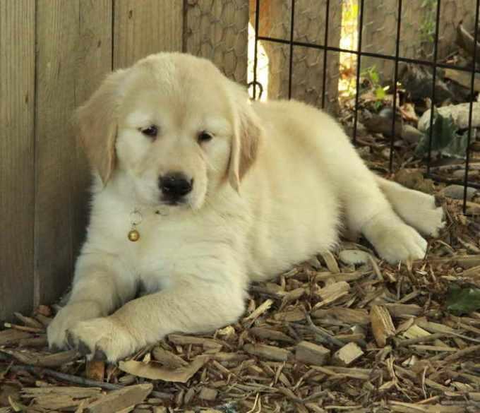 Golden Retriever Puppies Ontario