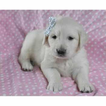Golden Retriever Puppies Pensacola