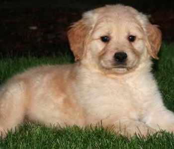 Golden Retriever Puppies Portland