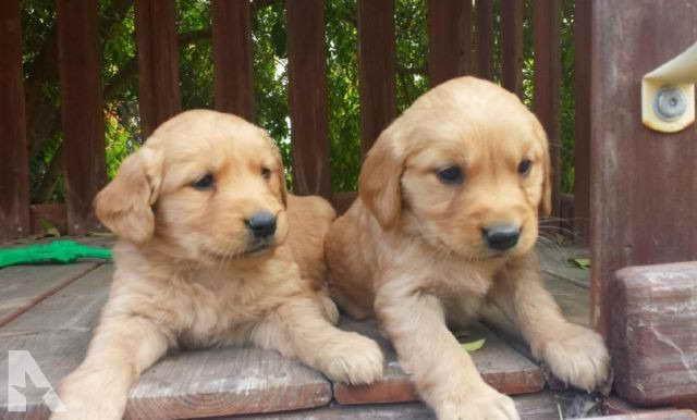 Golden Retriever Puppies San Diego Ca