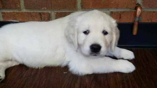 Golden Retriever Puppies White