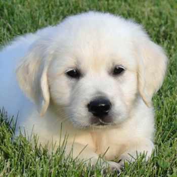 Golden Retriever Puppies Wisconsin