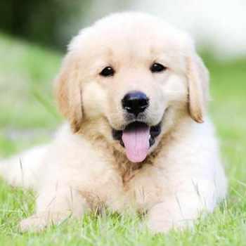 Golden Retriever Puppy Breeders