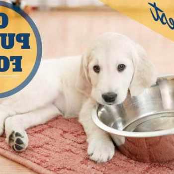Golden Retriever Puppy Feeding