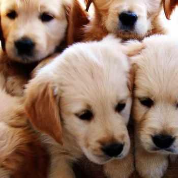 Golden Retriever Puppy Stages