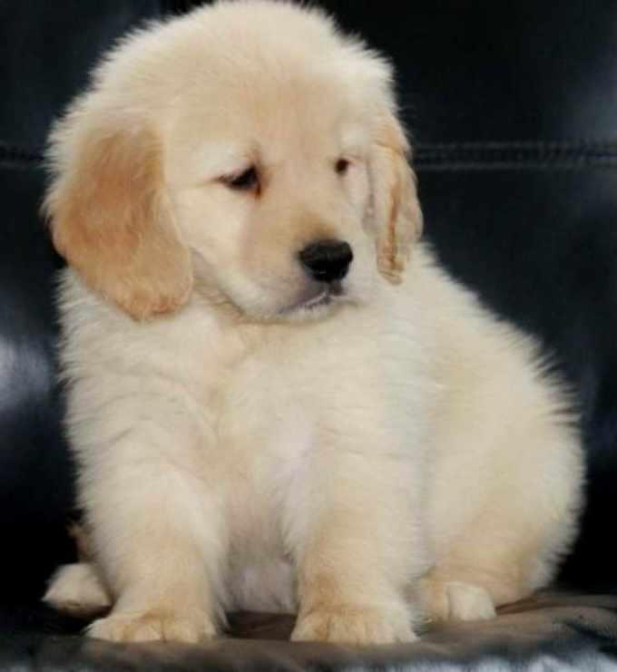 Golden Retriever Rescue Adoption
